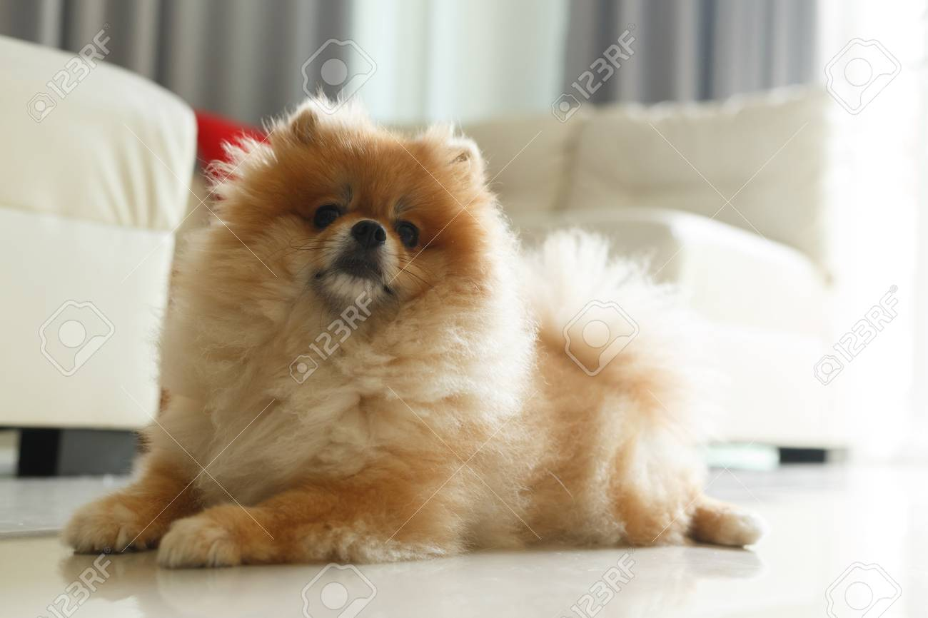Top Fluffy Brown Adorable Dog - 79033739-fluffy-brown-pomeranian-cute-dog-small-pet-friendly  Graphic_795100  .jpg