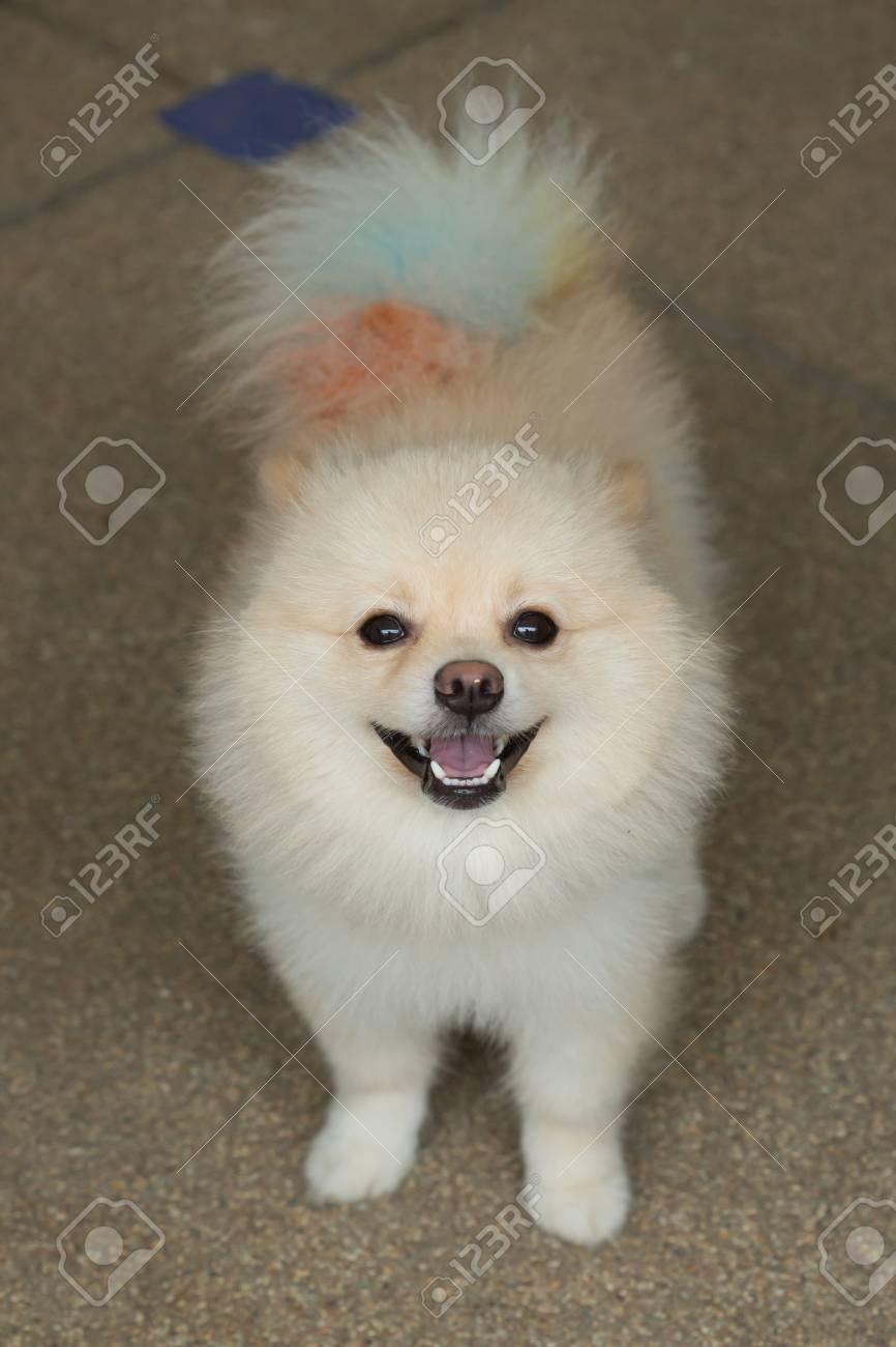 White Puppy Pomeranian Dog Short Hair Grooming Cute Pet Happy
