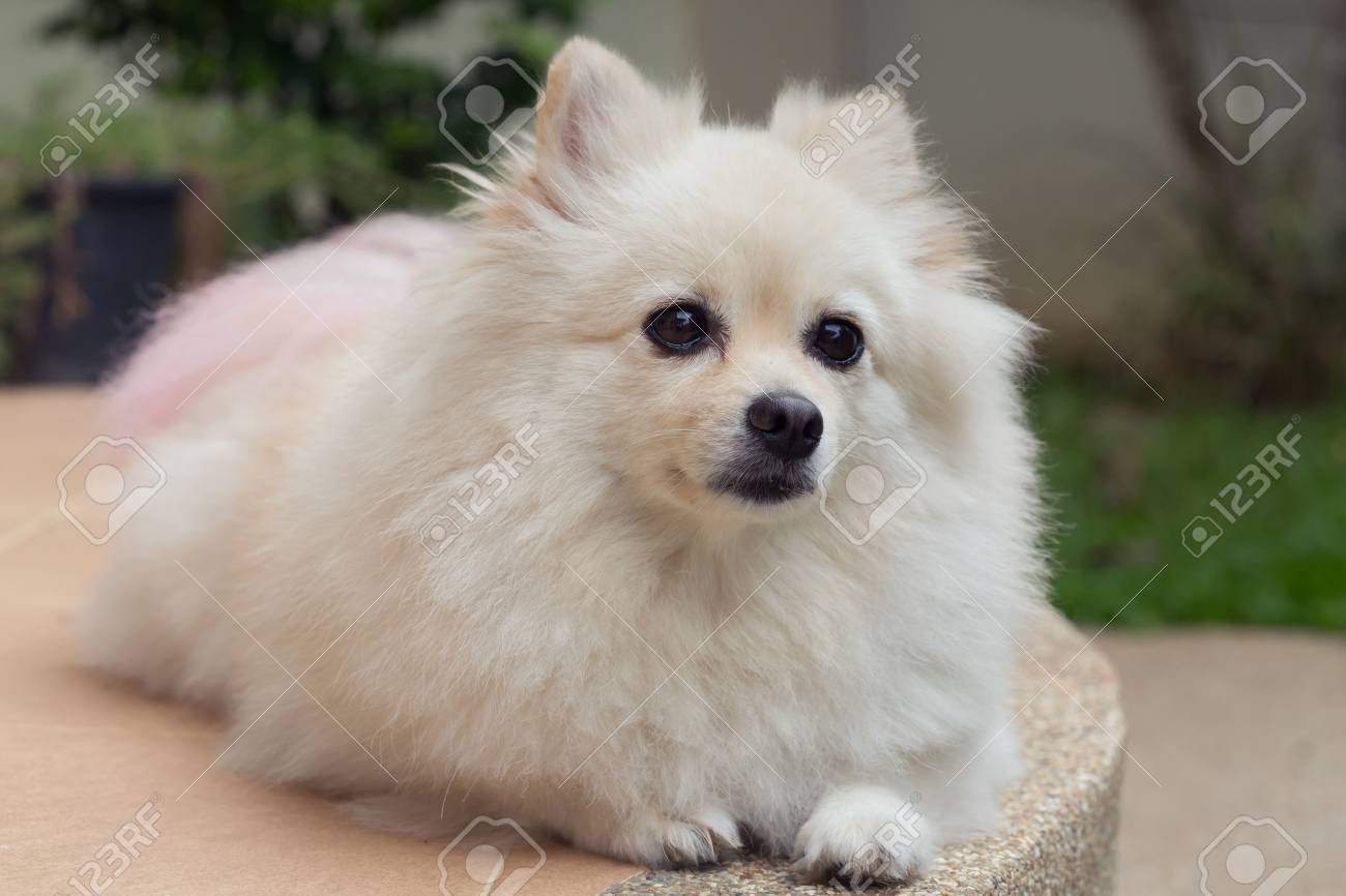 Popular Pomeranian Canine Adorable Dog - 79630483-fluffy-white-pomeranian-cute-dog-small-pet-friendly  Gallery_797891  .jpg