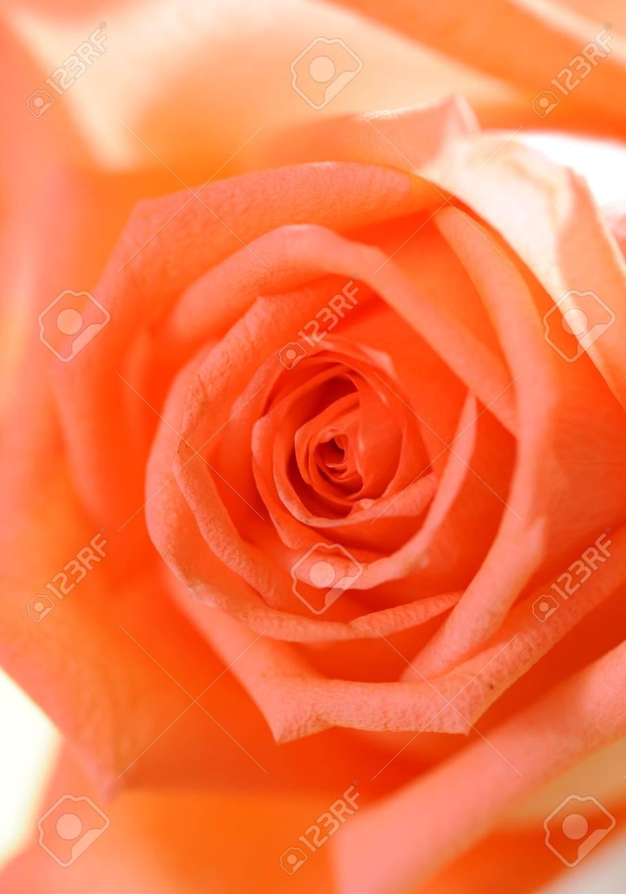 Valentine Red Rose Stock Photo - 10739874