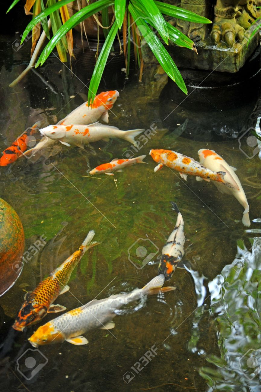 colorful koi fish koi fishes in japanese garden