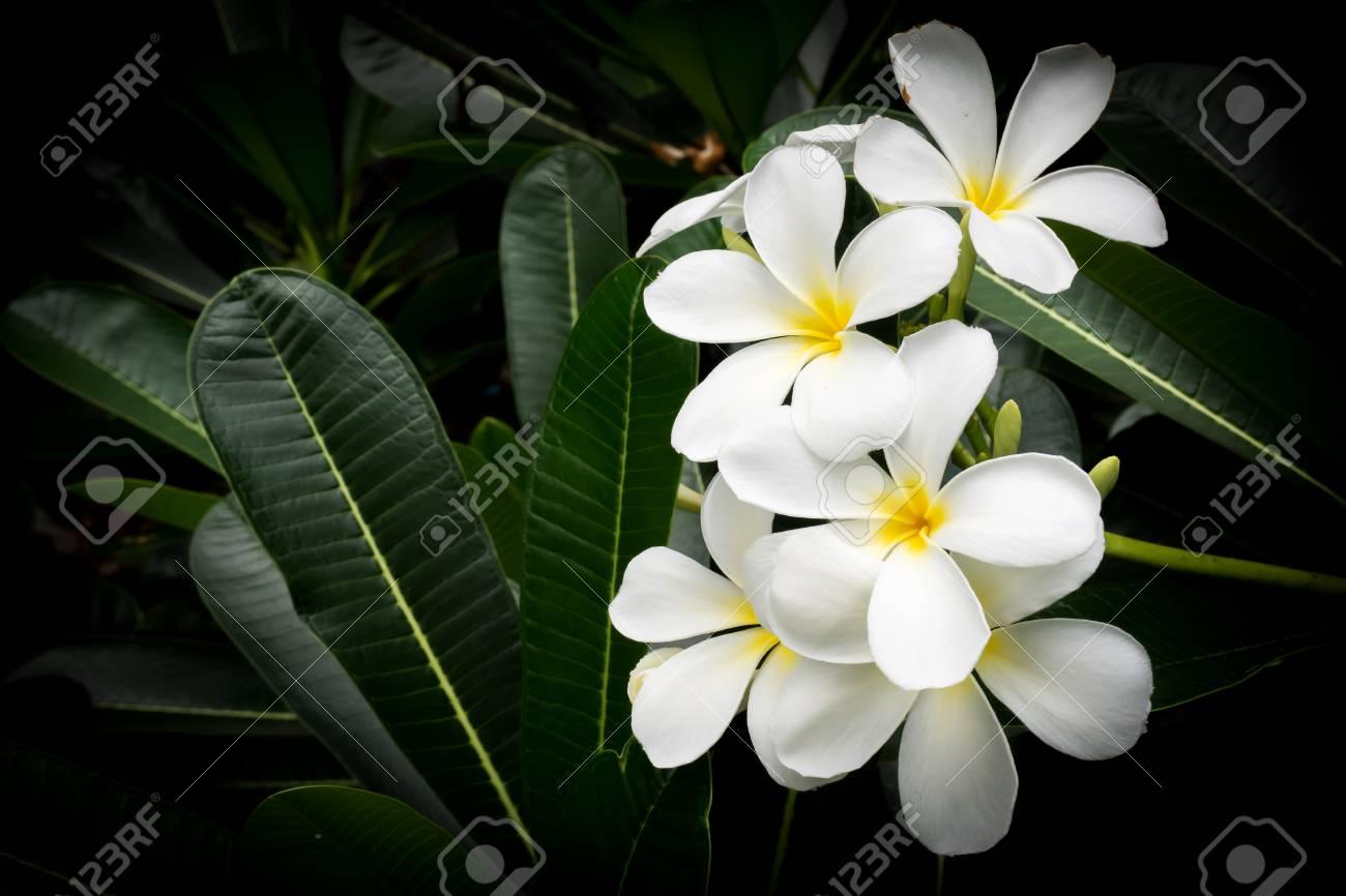 Fleur Blanche De Plumeria Fleur Tropicale Parfum Doux Symbolique