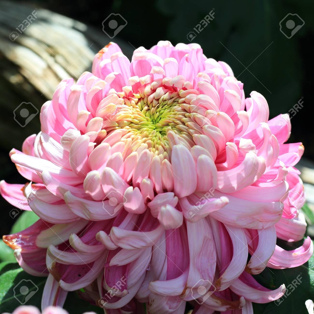Schone Herbst Chrysantheme Im Garten Lizenzfreie Fotos Bilder Und