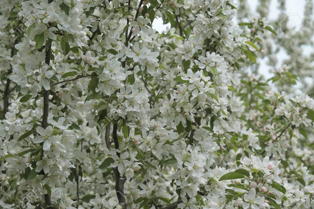 White Blossom Flower At Majors Hill Park In Downtown Ottawa Stock