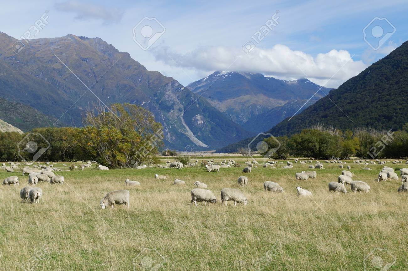 Group of Sheep in Cardrona valley - New Zealand Stock Photo - 13211862