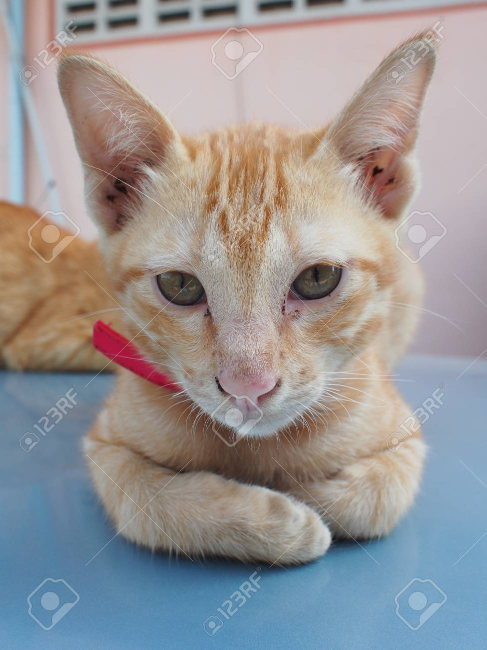 Cute Orange Kitten Looking Forward Stock Picture And
