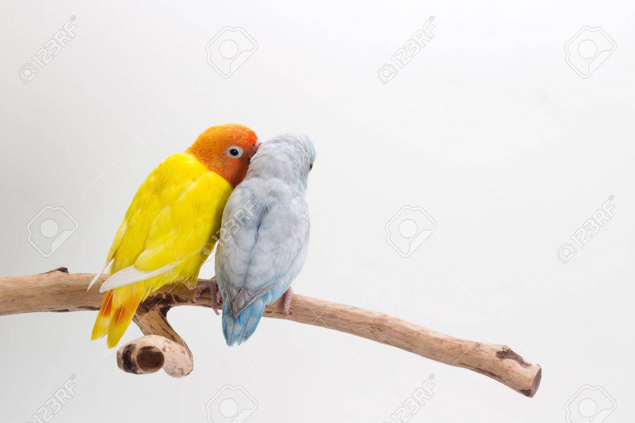 Lovebird and Forpus playing together on branch and white background Banque d'images - 60089269