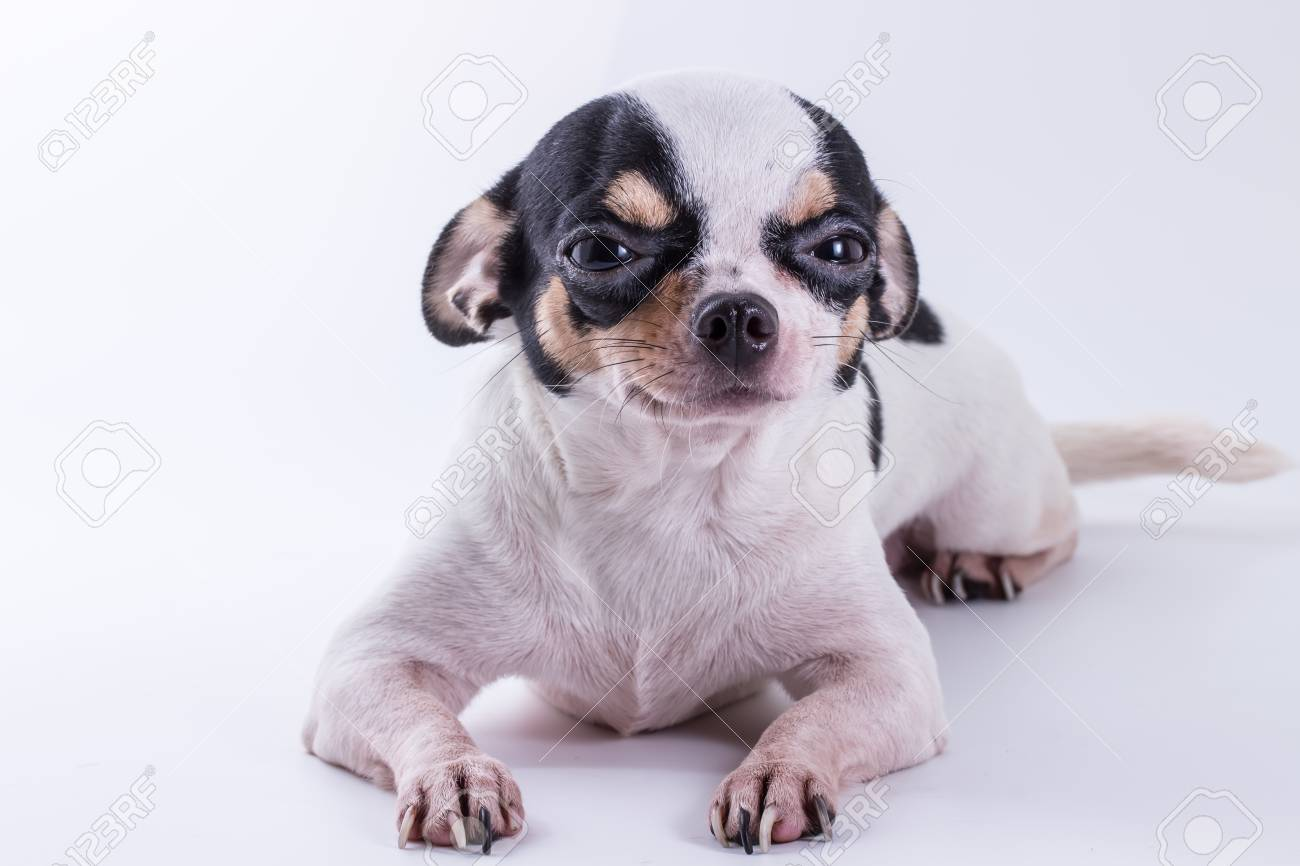 The Chihuahua Puppy Dog Cute Dog On White Background Stock Photo Picture And Royalty Free Image Image 110346060