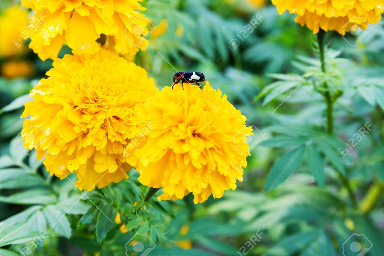 Yellow marigold flowers tagetes erecta mexican marigold stock yellow marigold flowers tagetes erecta mexican marigold aztec marigold african marigold mightylinksfo