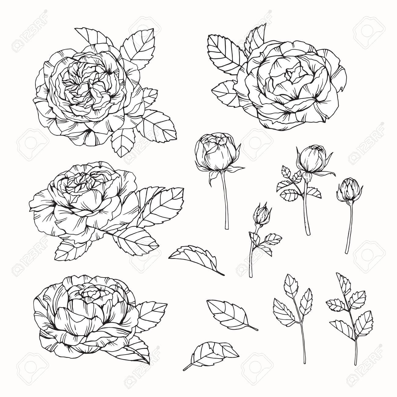 Rose Blumen Zeichnen Und Skizzieren Mit Strichzeichnungen Auf Weissen