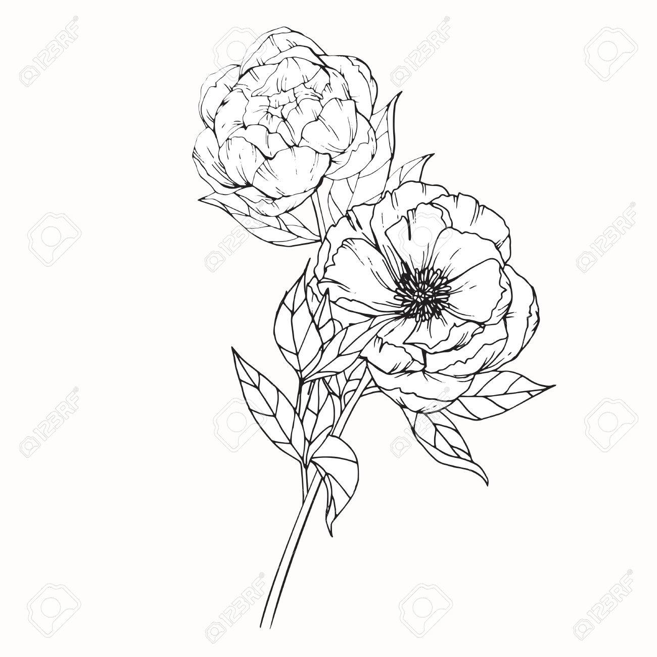Peony flowers drawing and sketch with line,art on white backgrounds.