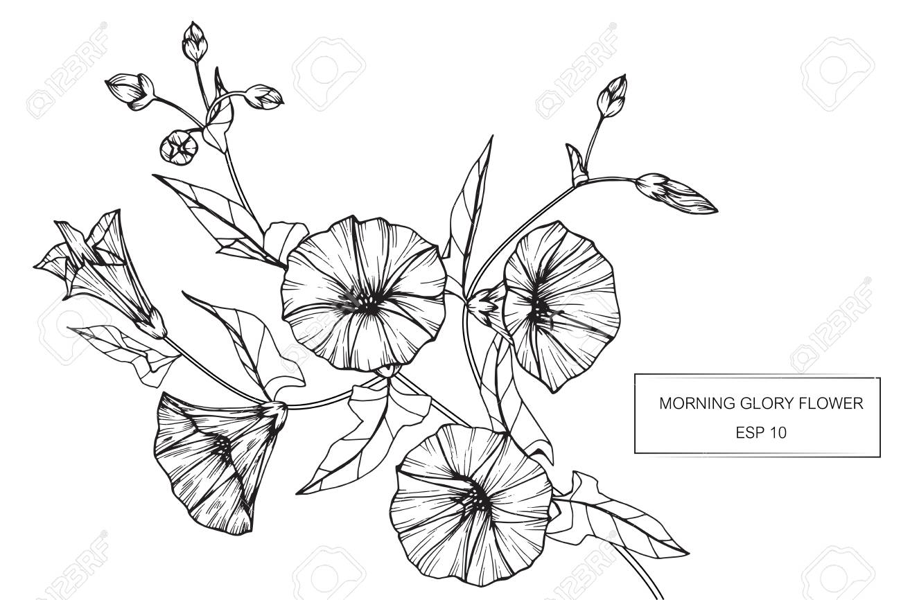 Morning Glory Flowers Drawing And Sketch With Line Art On White
