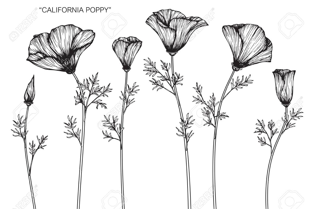 California poppy flower drawing and sketch with black and white california poppy flower drawing and sketch with black and white line art stock mightylinksfo