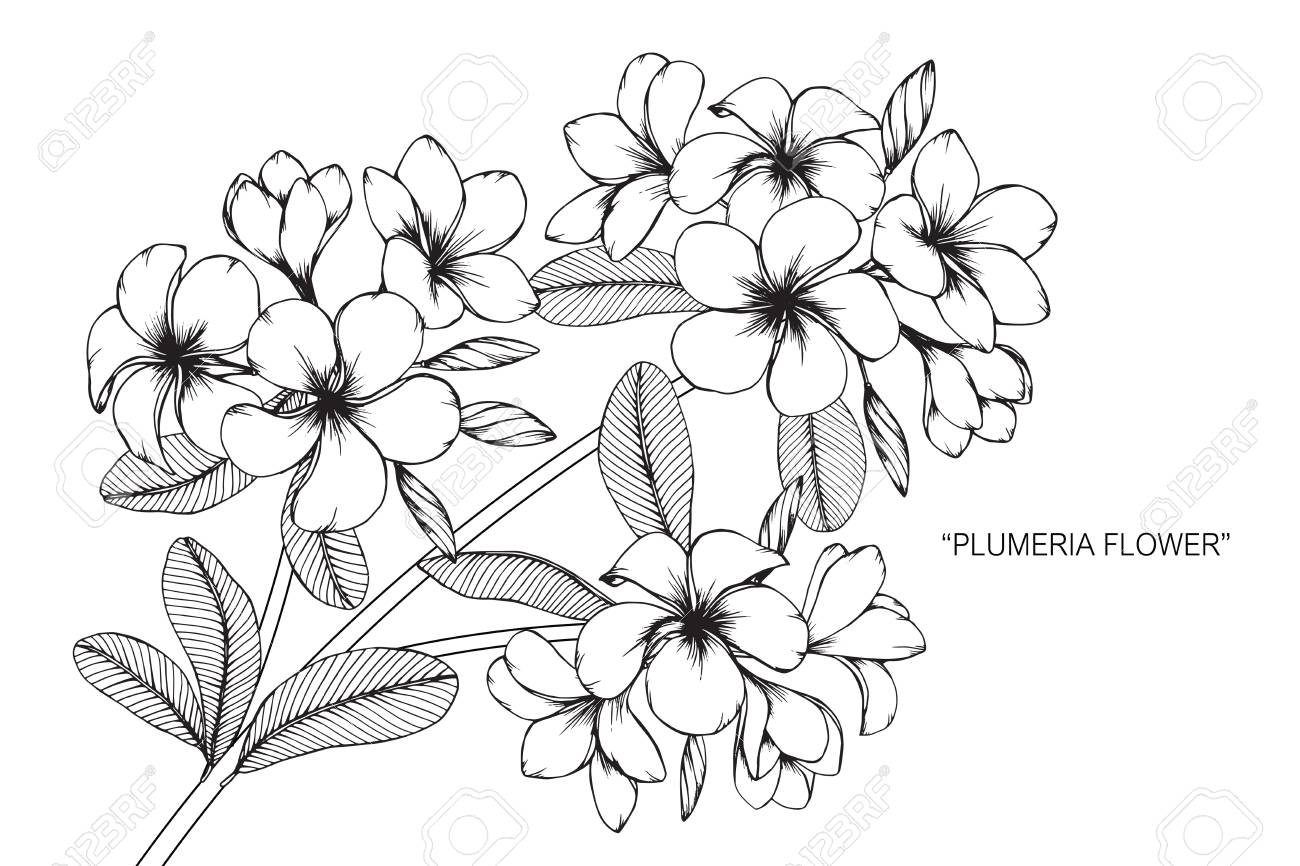 Plumeria Flower Drawing And Sketch With Black And White Line Art Royalty Free Cliparts Vectors And Stock Illustration Image 89404830