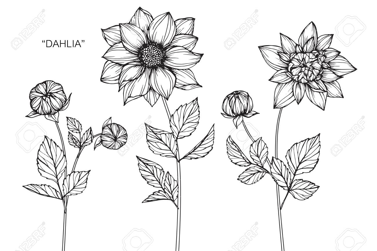 Dahlia Flower Drawing And Sketch With Black And White Line Art