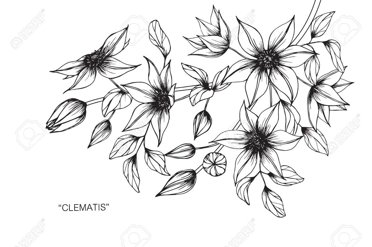 Fleur De Clématite Dessiner Et Dessiner Avec Des Dessins Au Trait En Noir Et Blanc