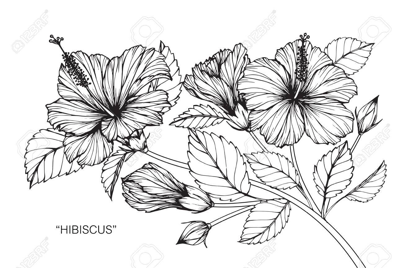 Hibiscus Flower Drawing And Sketch With Black And White Line Art