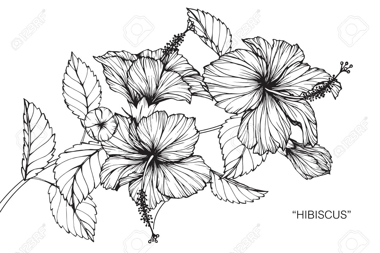Hibiscus flower drawing and sketch with black and white line art hibiscus flower drawing and sketch with black and white line art stock vector izmirmasajfo