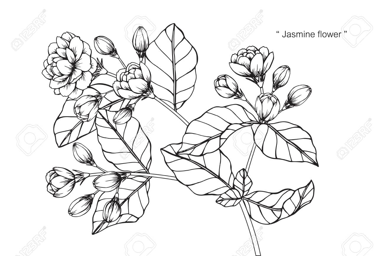 Jasmine flower drawing and sketch with black and white line art jasmine flower drawing and sketch with black and white line art stock vector mightylinksfo