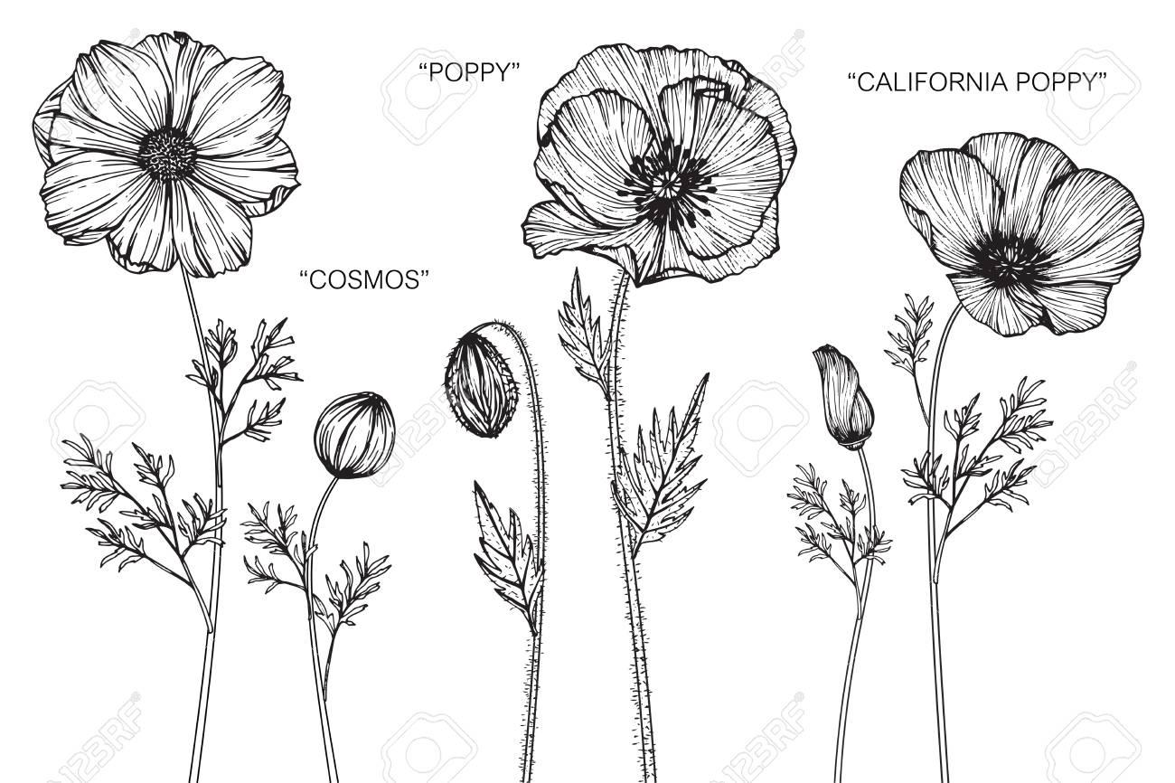 Cosmos poppy and california poppy flower drawing and sketch cosmos poppy and california poppy flower drawing and sketch with black and white line mightylinksfo
