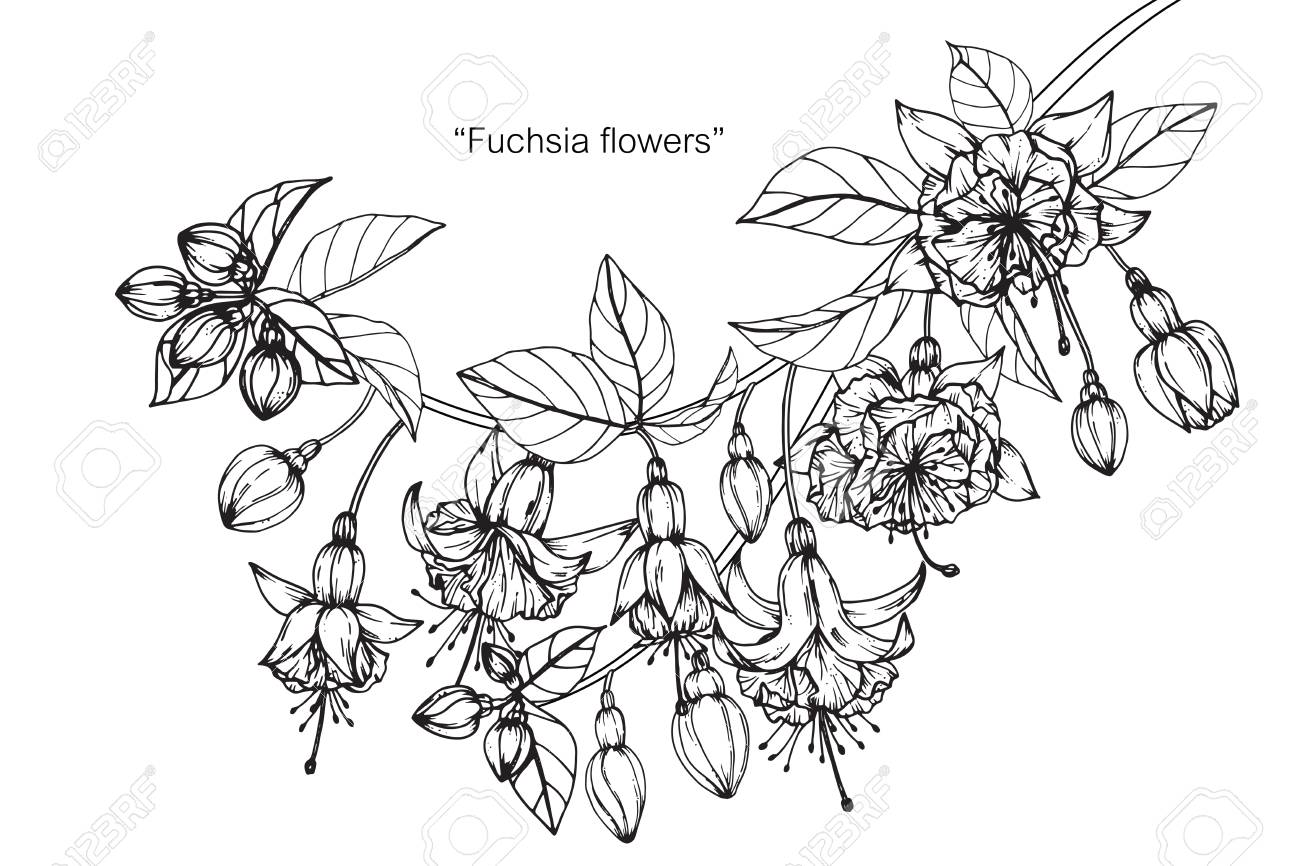 Fuchsia Flower Drawing And Sketch With Black And White Line Art