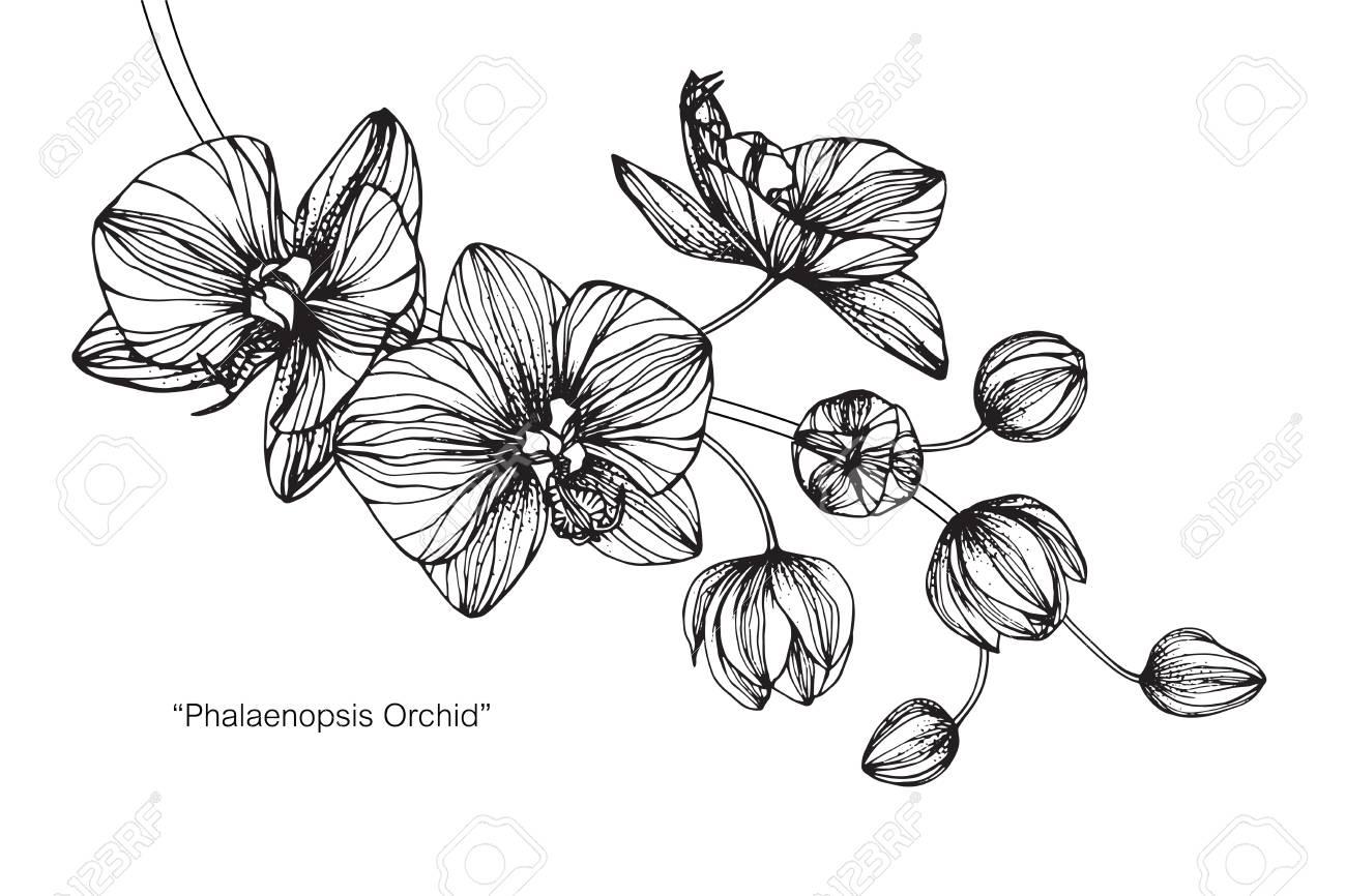 Fleur Orchidée Dessin Et Croquis Avec Des Dessins Au Trait En Noir Et Blanc