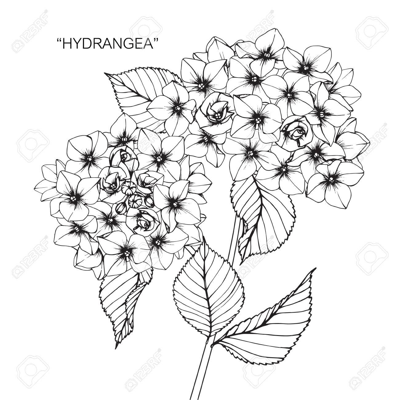 Hydrangea flower drawing and sketch with black and white line art hydrangea flower drawing and sketch with black and white line art stock vector mightylinksfo