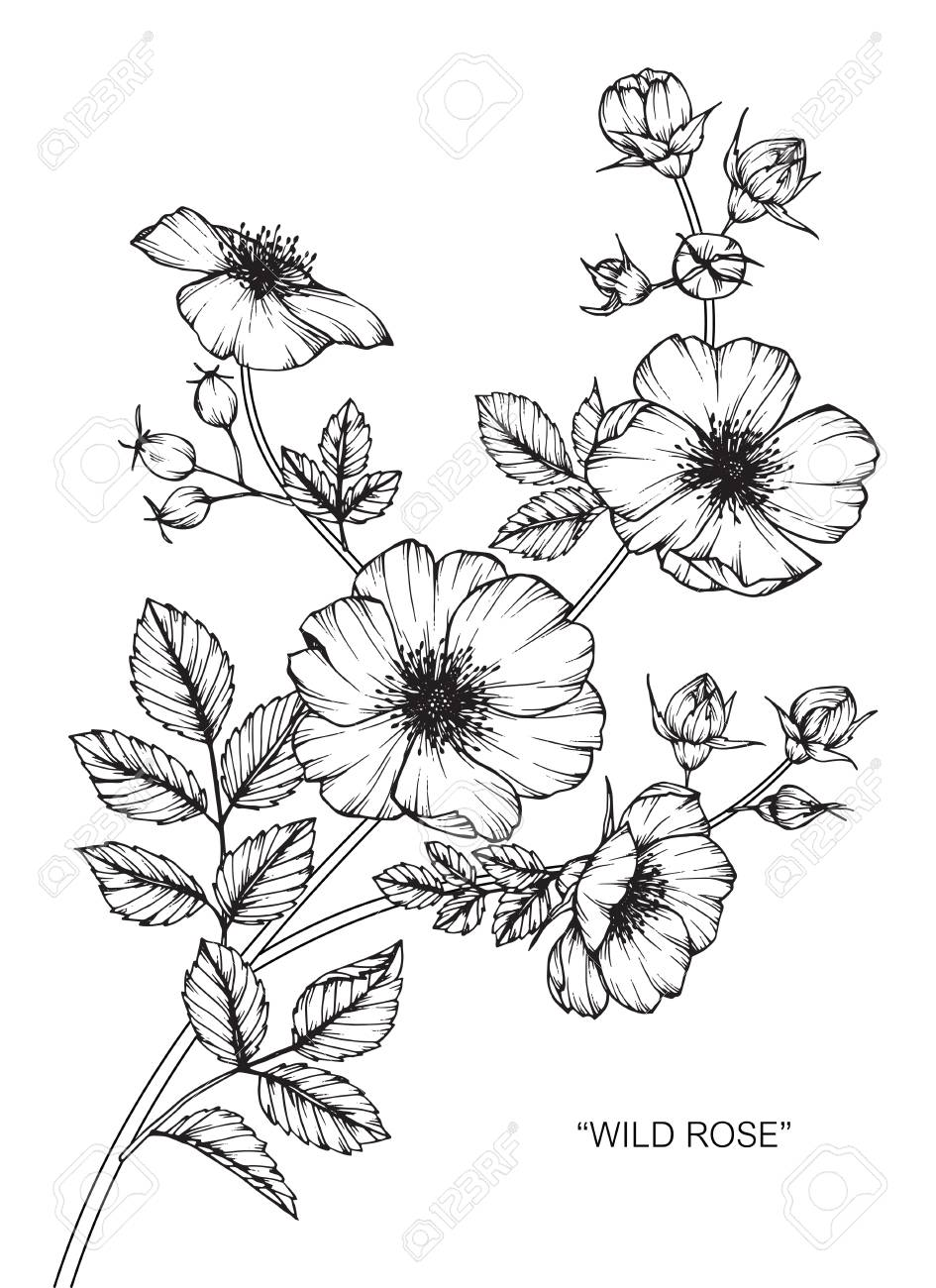 Wild rose flower drawing and sketch with black and white line art vector wild rose flower drawing and sketch with black and white line art mightylinksfo