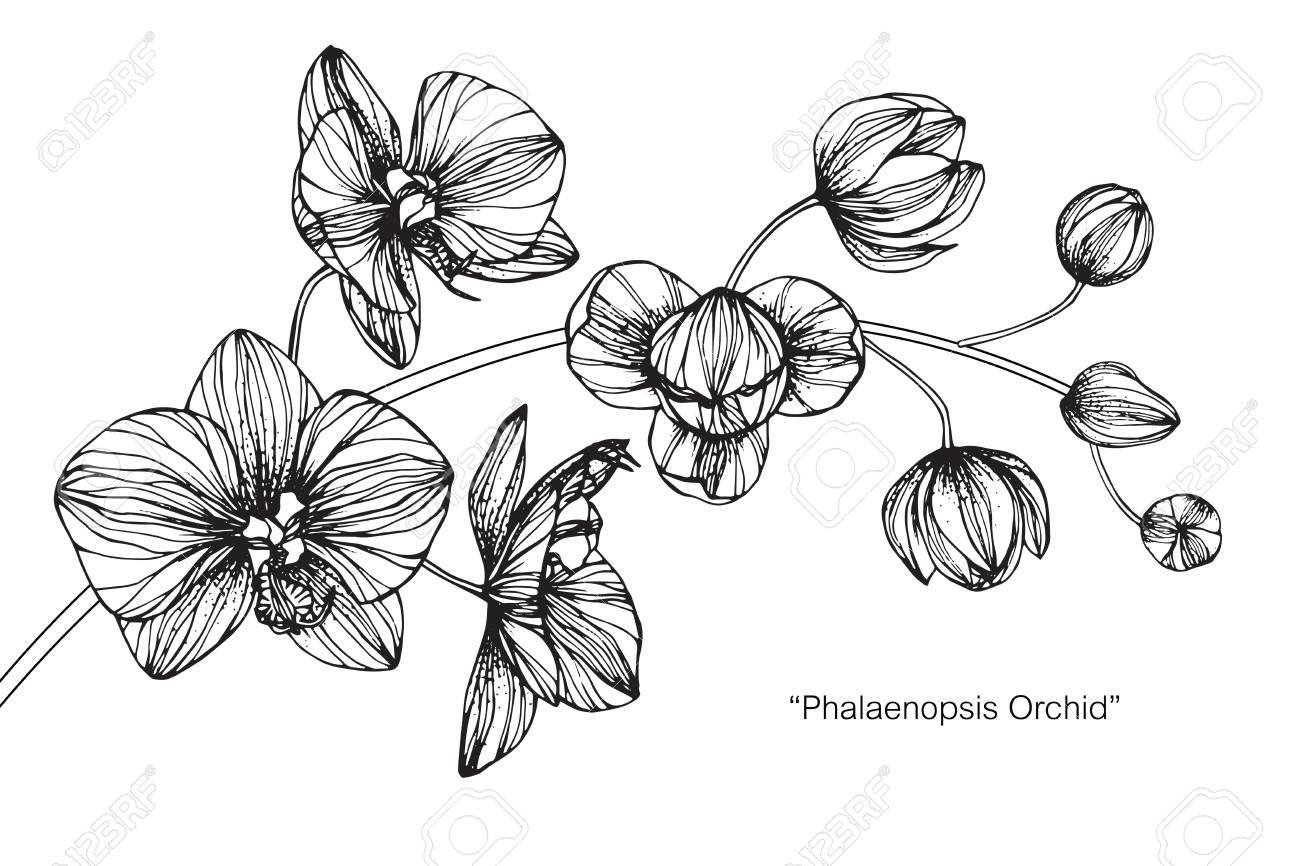 Orchid Flower Drawing And Sketch With Black And White Line Art