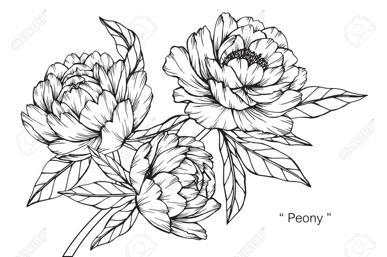 pfingstrose zeichnen blumen zeichnung, pfingstrose blume. zeichnen und skizzieren mit schwarzen und weißen, Design ideen