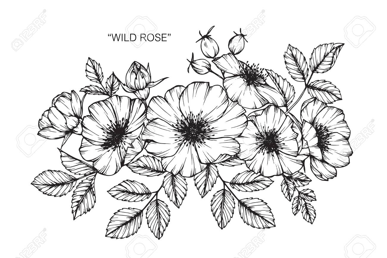 Wild Rose Flower Drawing And Sketch With Black And White Line Art