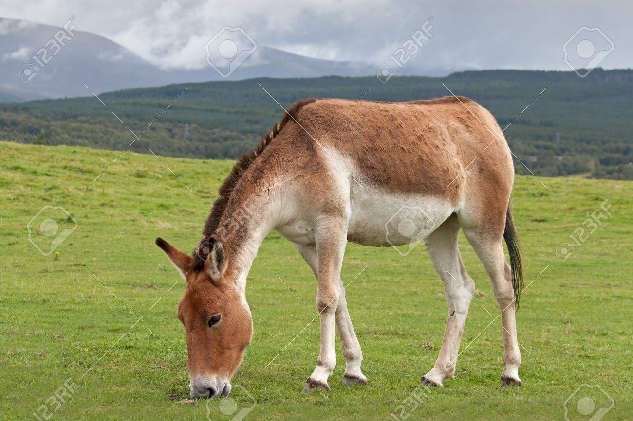 Kiang Or Tibetan Wild Ass Are From The High Plateaux And Steppe