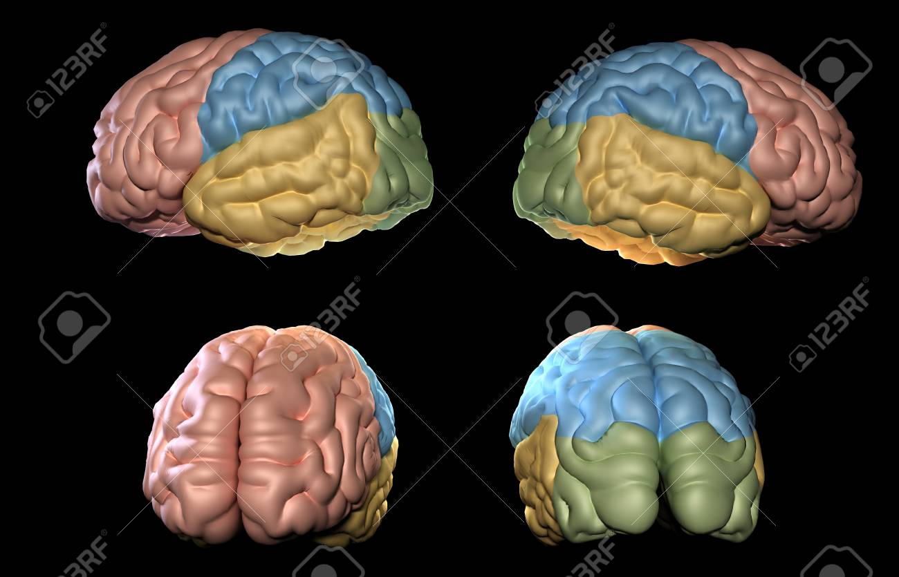 3D Rendered Illustration Of Human Brain Model Stock Photo, Picture ...