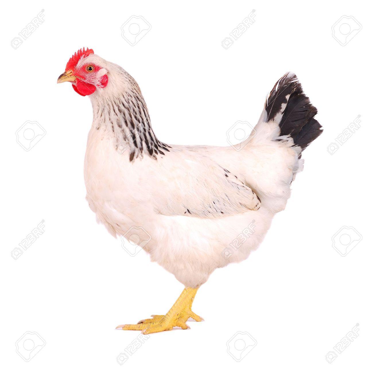 White hen isolated on white, studio shot. Stock Photo - 10662182