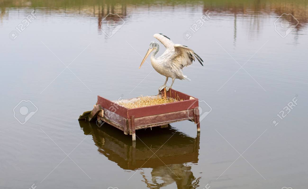 pelican on a lake Stock Photo - 6856416