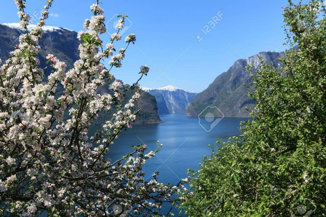Flowering tree by Aurlandsfjord parish in the county sogn og fjordane in Norway - 15345182