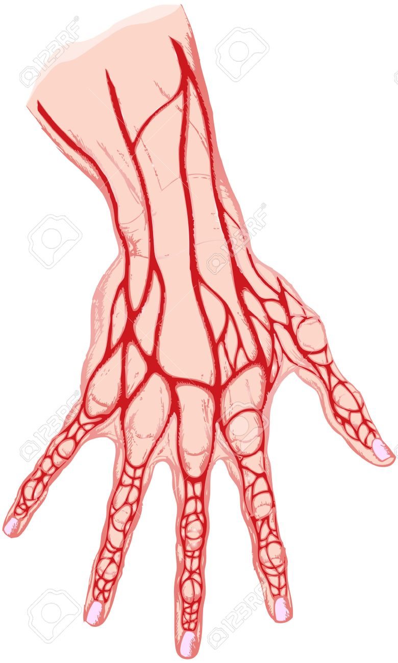 The Isolated Drawing Of A Human Hand The Veins Royalty Free Cliparts