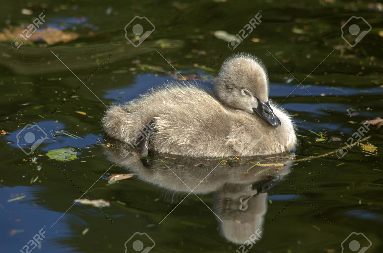 The Sleeping Swans >> A Sleeping Fluffy Baby Of A Black Swan Reflected In The Pond Stock