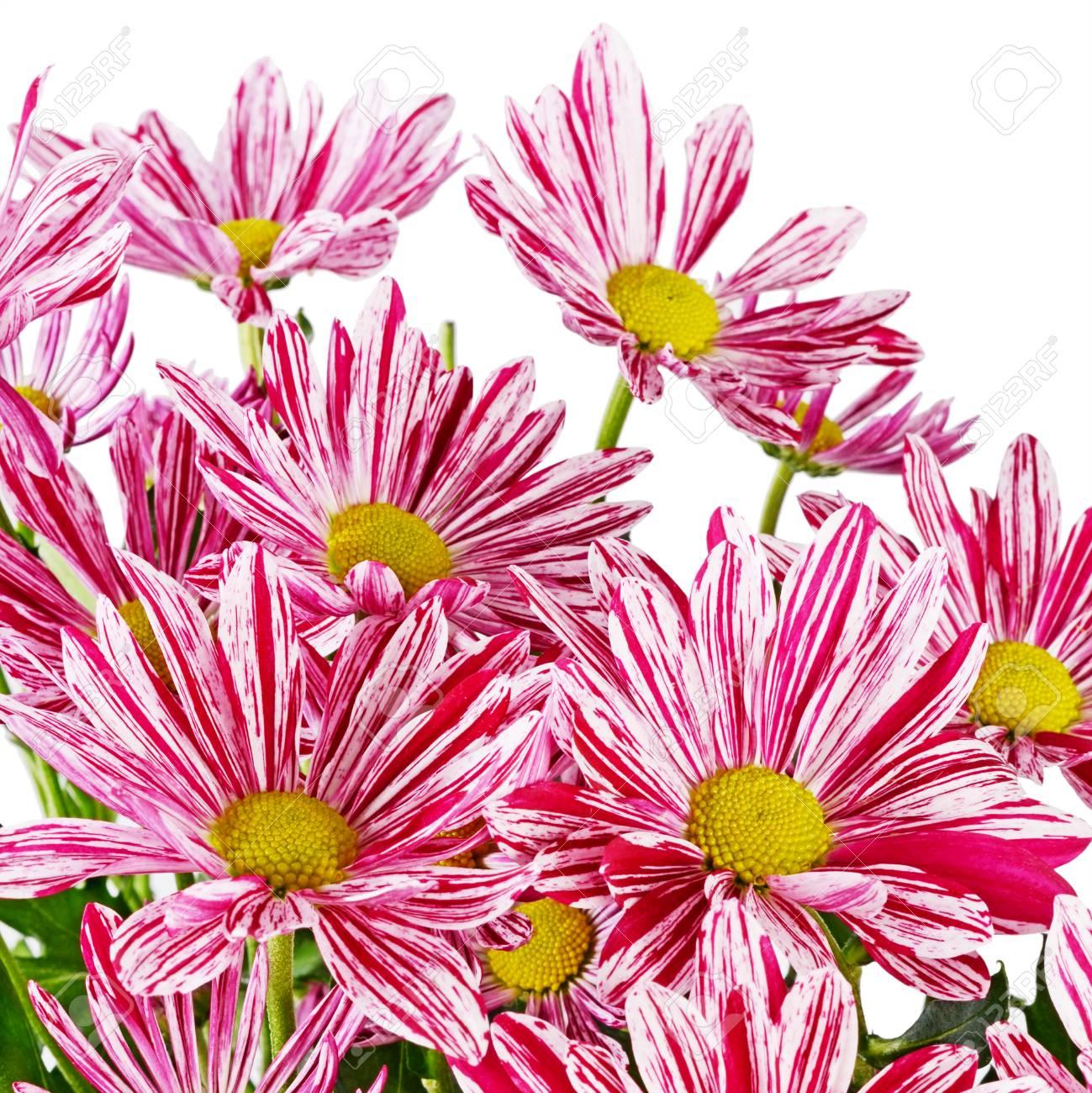 Crisantemi Rosa Di Fiori Su Sfondo Bianco Isolato