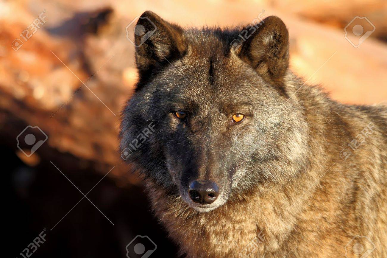 Lonely gray wolf in beams of the coming sun - 9630712