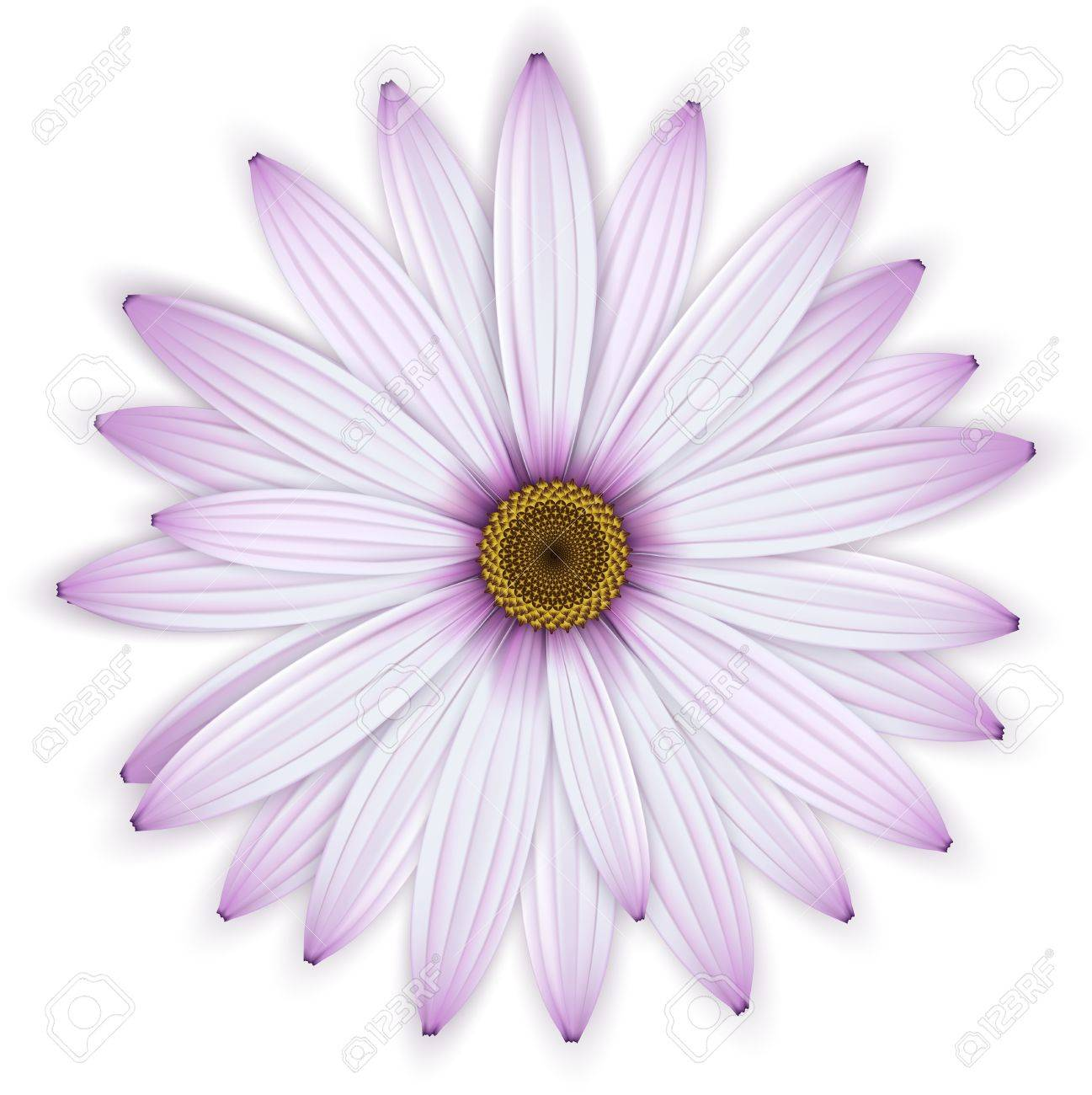 Purple Daisy Flower Isolated Over White Detailed Vector