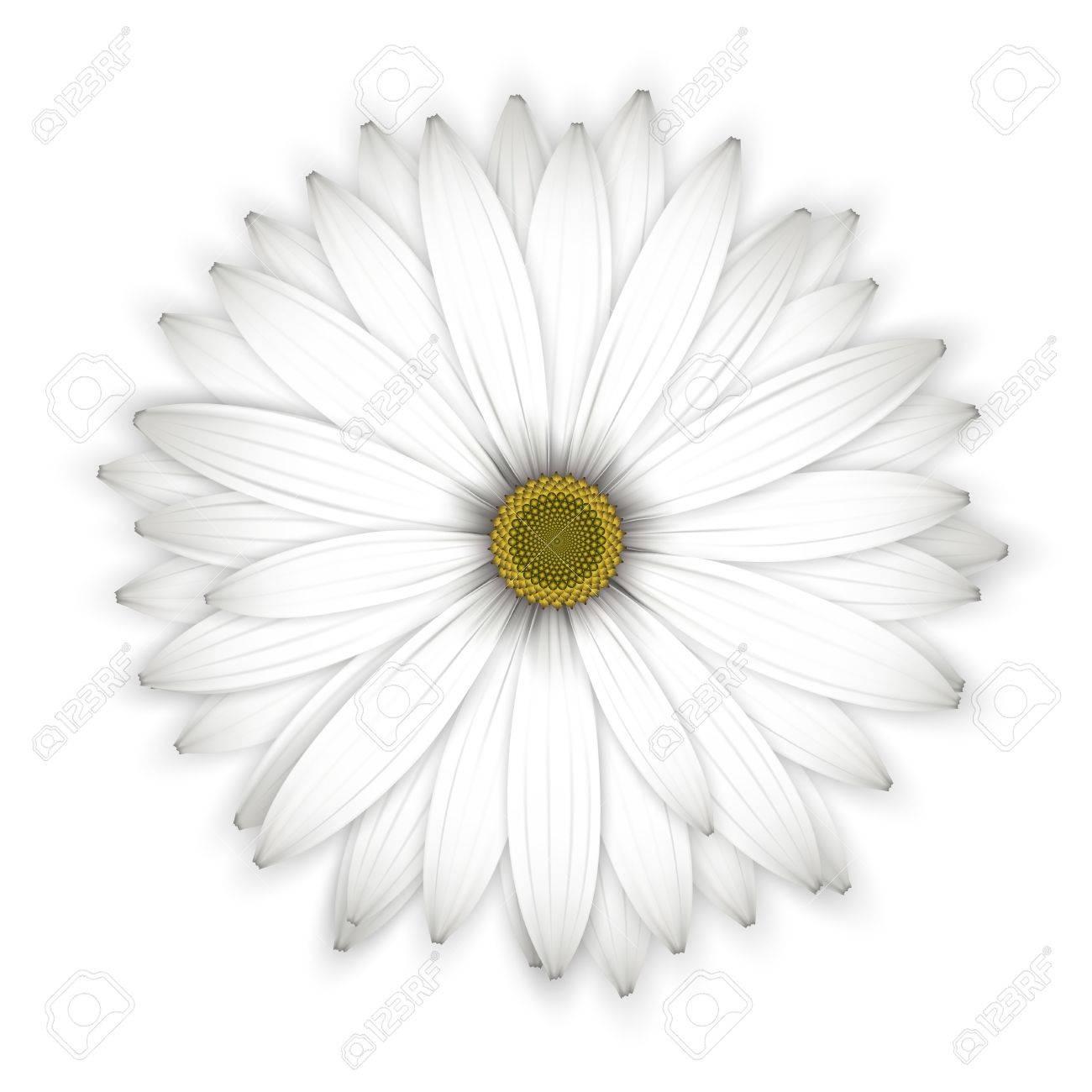 Daisy flower background. Isolated on white. Detailed illustration. Stock Vector - 21021657