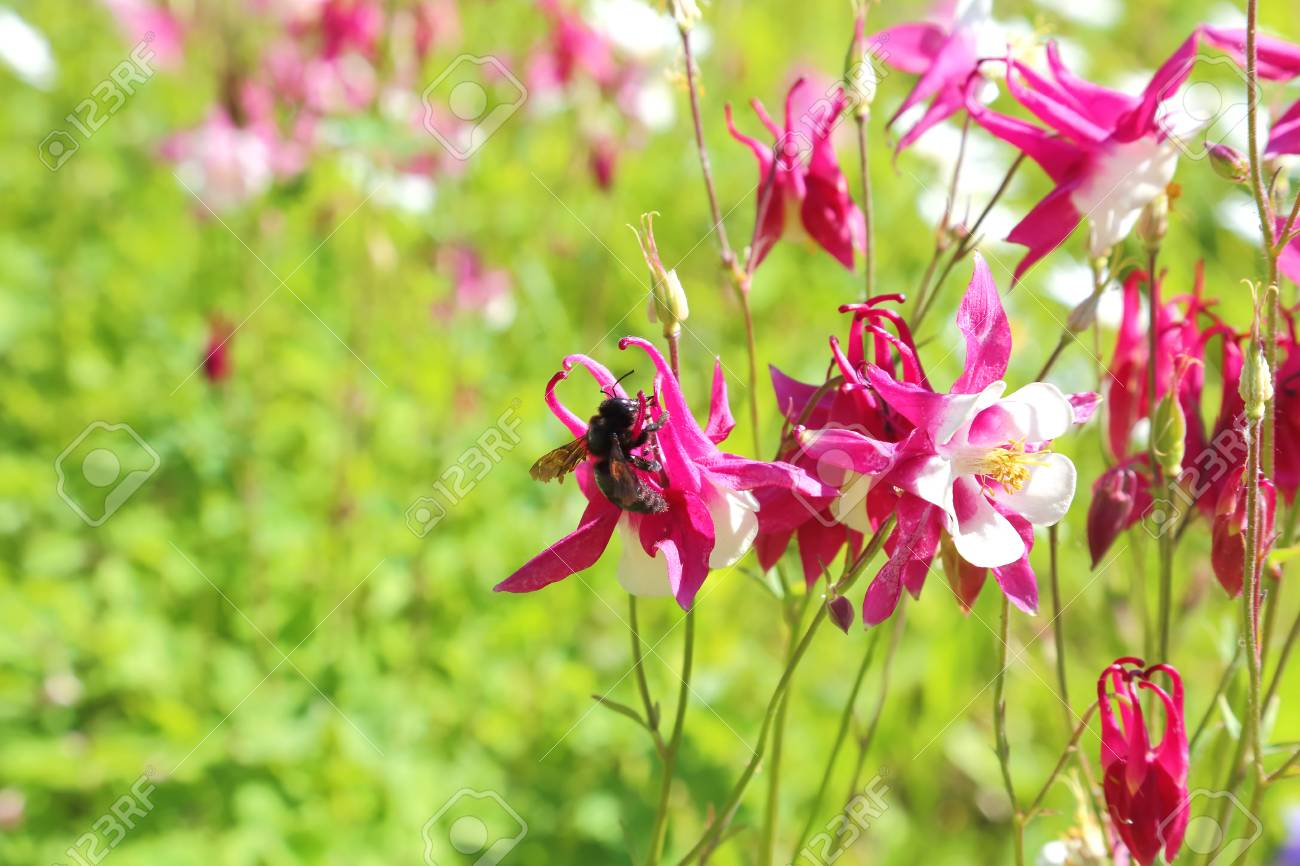A black bee pollinates a flower blooming columbine of red color a black bee pollinates a flower blooming columbine of red color on a green natural izmirmasajfo