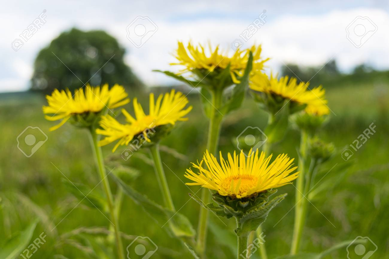 Closeup Of Wild Yellow Flowers Doronikum Yellow Daisy Stock Photo