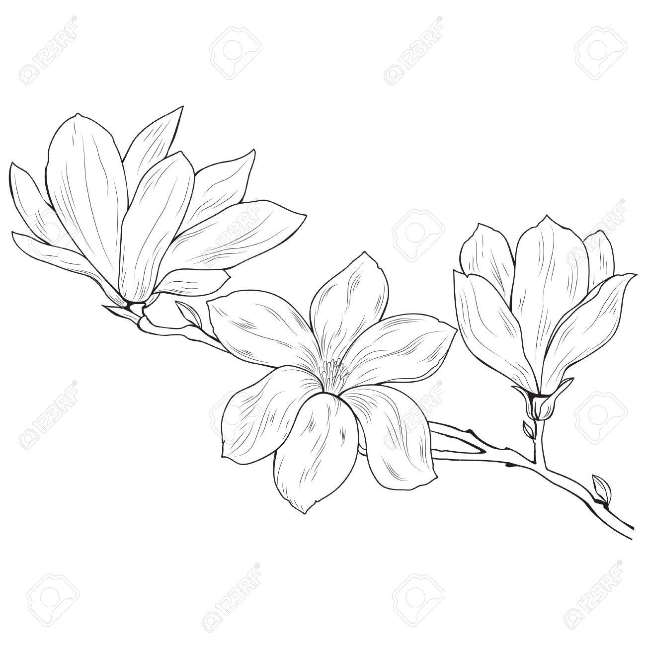 Magnolia Flowers On A Tree Branch Sketch Black On White Background