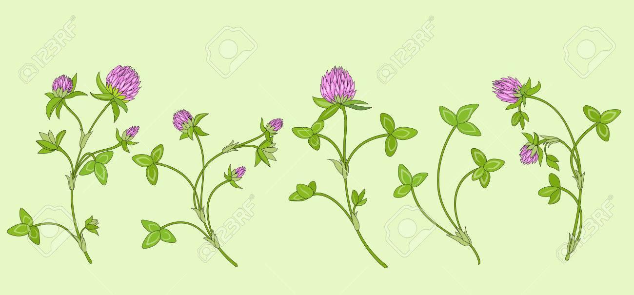 Trefle Rouge En Fleurs Trifolium Pratense Fleurs De Pre Rose Au