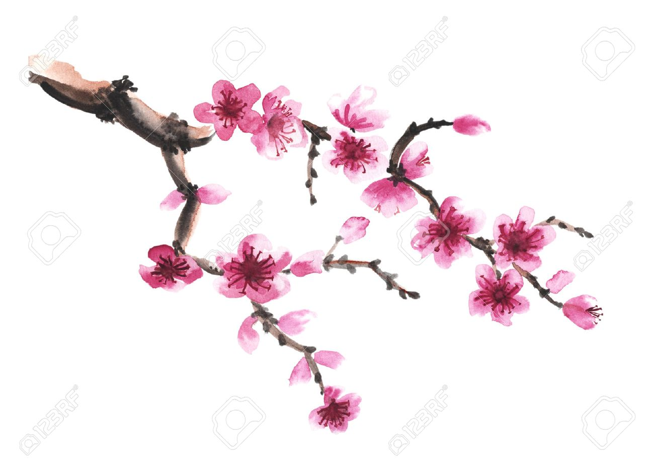 Branche Aquarelle Dessinee A La Main De Sakura Isole Sur Blanc
