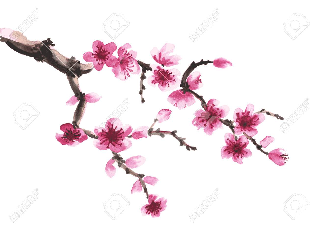 Watercolor hand-drawn branch of sakura isolated on white - 55324875