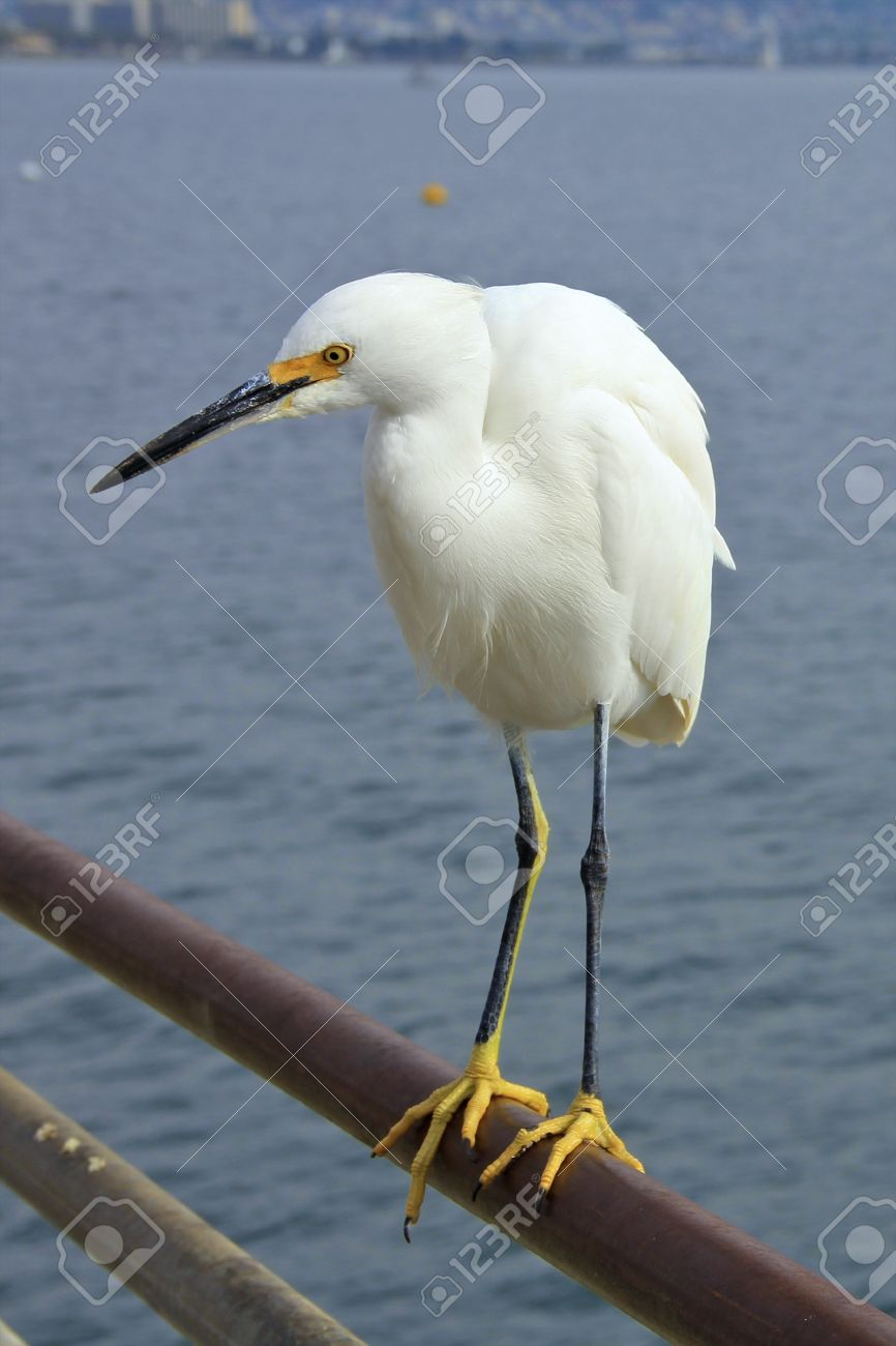 White Crane Bird Close Up With The Ocean In The Background