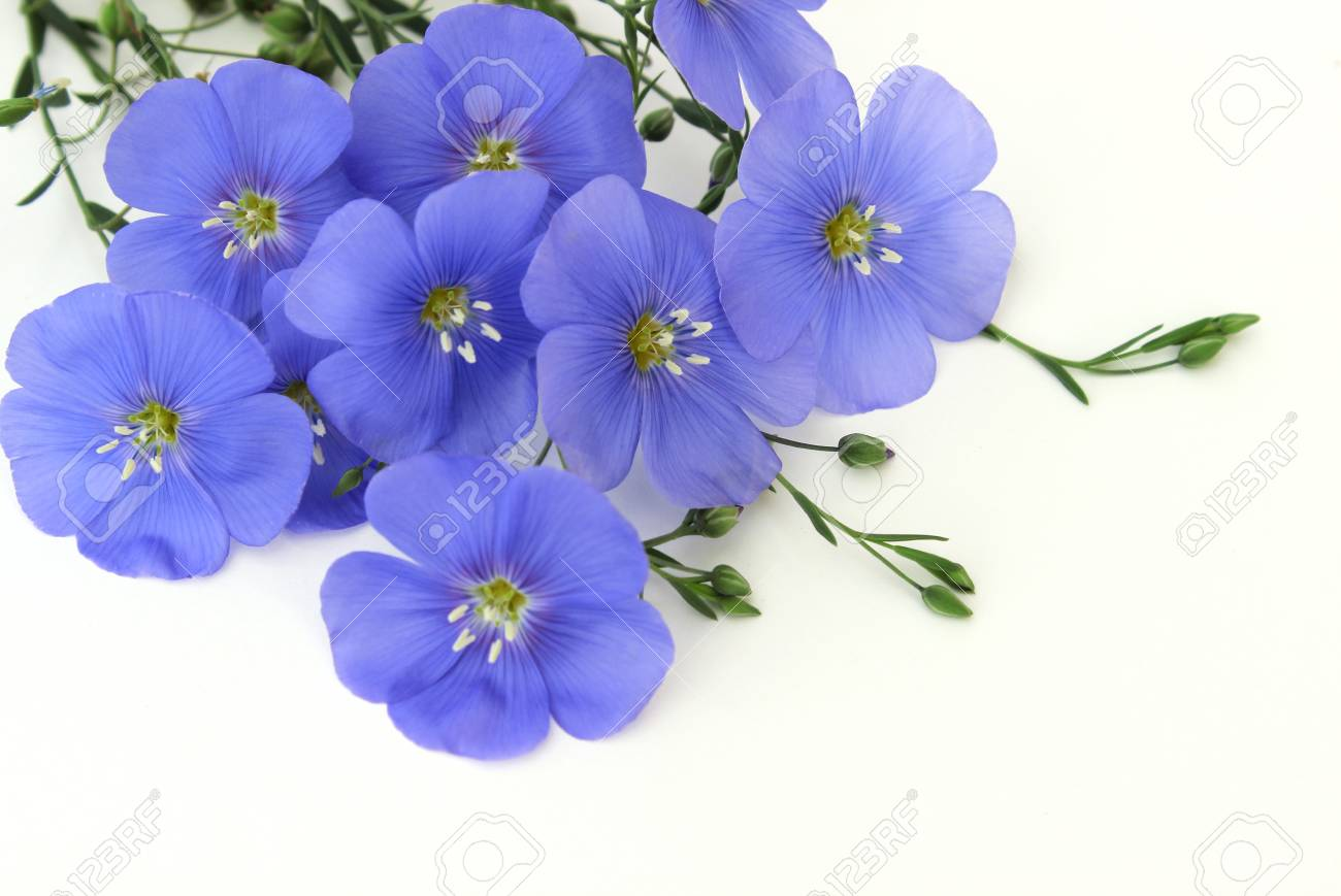 Blue flowers flax perennial stock photo picture and royalty free blue flowers flax perennial stock photo 83749876 izmirmasajfo
